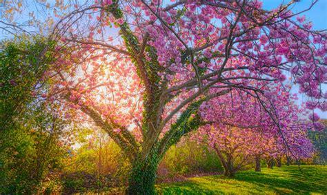 El cerezo que vino del espacio - Supercurioso