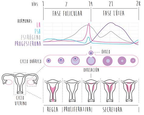 El ciclo menstrual   Matronaonline.net