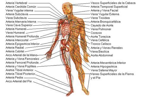 El cuerpo humano. Aparato Circulatorio. Introducción a las ...