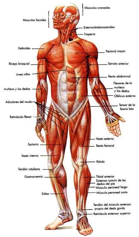 El cuerpo humano y sus partes imagenes   Imagui
