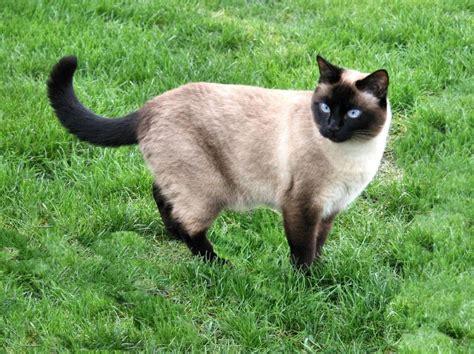 El diccionario de los animales: Gato Siamés