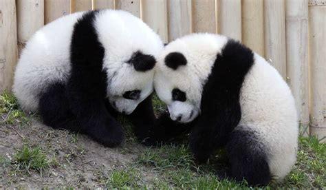 El ecoturismo llega a China en auxilio del oso panda