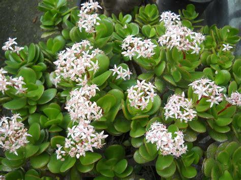 El espiritu de las plantas: Planta de Jade
