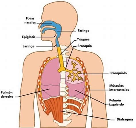 El funcionamiento del sistema respiratorio El funcionamie ...