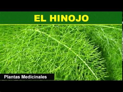 El Hinojo - Plantas Medicinales - YouTube