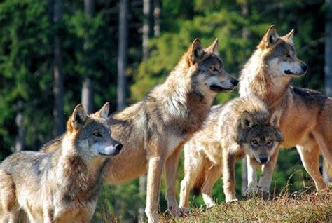 El lobo y la manada   Almo Nature