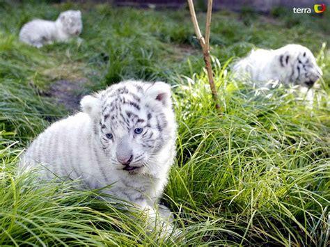 El majestuoso tigre blanco   Taringa!
