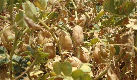 El mejor cultivo invernal es una legumbre: en el último ...