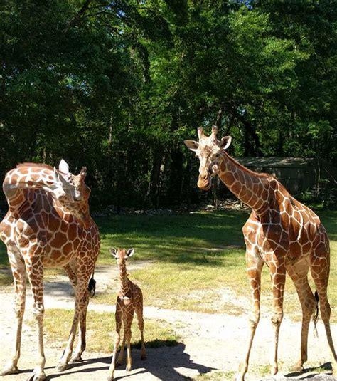 El nombre de esta tierna jirafa conmovió a todos al estar ...