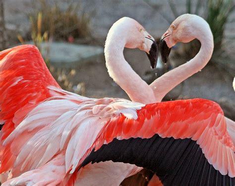 El ojo del buitre: Aves - Flamencos (Phoenicopterus)