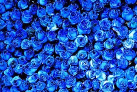 El origen de las rosas azules