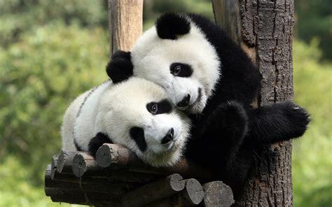 El oso panda | juanlsalas