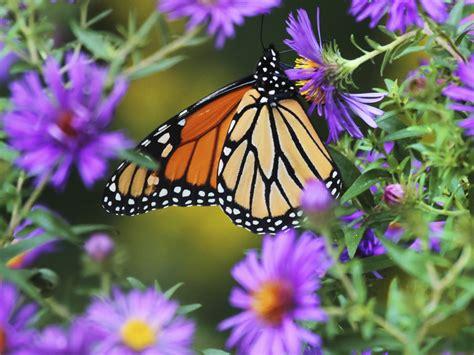 El renacer de las mariposas monarca