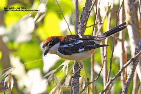 El Rinche de Berry : Pájaros, pájaros y más pájaros ...