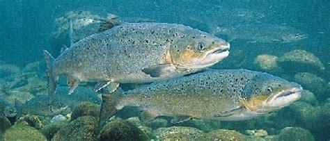 El salmón del Atlántico a punto de desaparecer en Galicia.