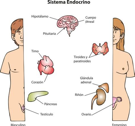 El sistema endocrino - Edicion Impresa - ABC Color