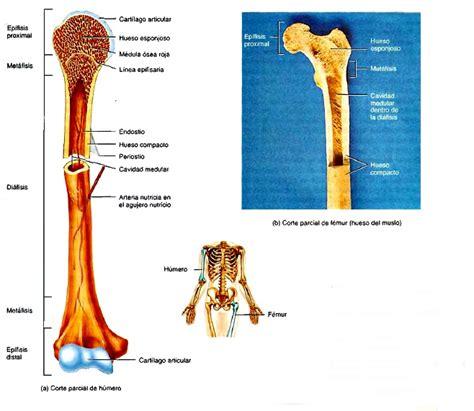 El sistema esquelético: tejido óseo