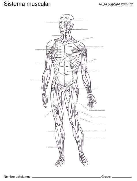 El sistema muscular para niños