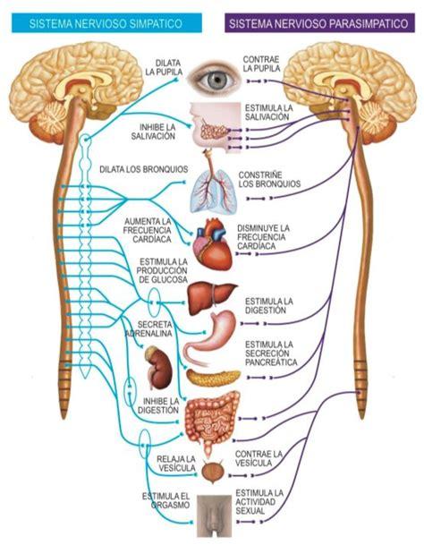 El Sistema Nervioso Autónomo   Sirpa España