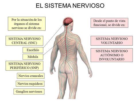 El sistema Nervioso. - ppt descargar