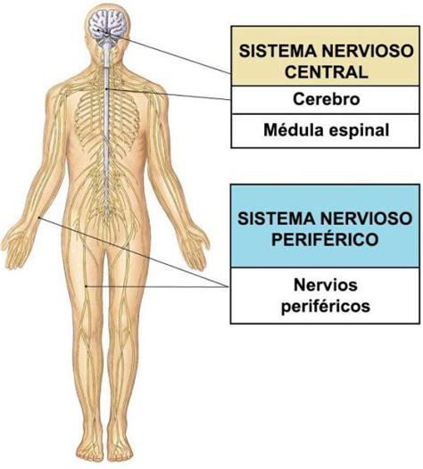 El sistema nervioso somático  SNS , anatomía y función