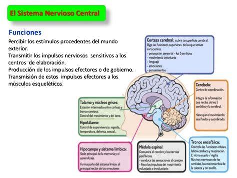 El Sistema Nervioso. tarea 4. Neurociencas minerva pereira