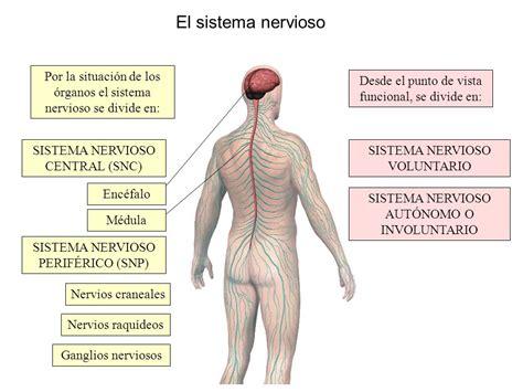 El sistema nervioso   ThingLink