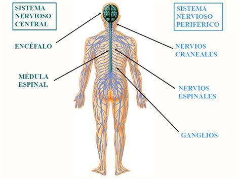 EL SISTEMA NERVIOSO, un sistema de control: El sistema ...