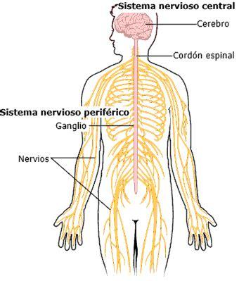 el sitema nervioso