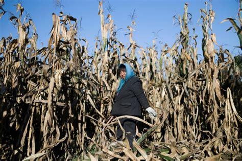El trigo baja y la soja sube en la bolsa de Chicago
