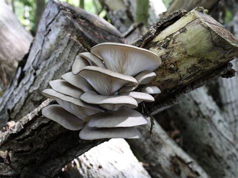 El tronco está inoculado con micelio en pellets de hongos ...