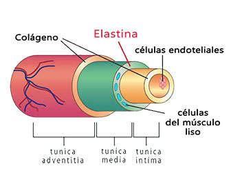 Elastina, qué es, para que sirve, función y donde se encuentra