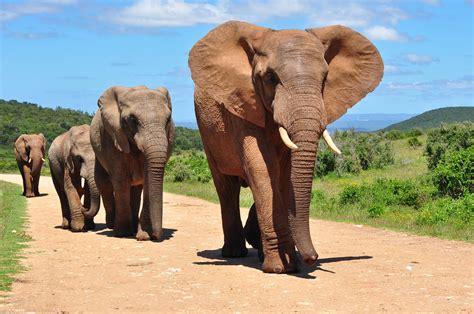 Elefante Africano   Animais Mamíferos   InfoEscola