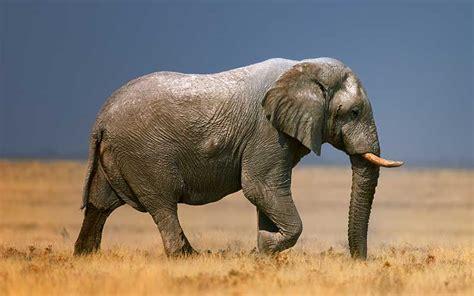Elefante Africano   Información y Características