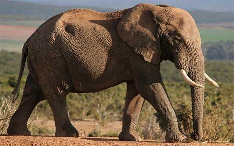 Elefante Africano - Información y Características