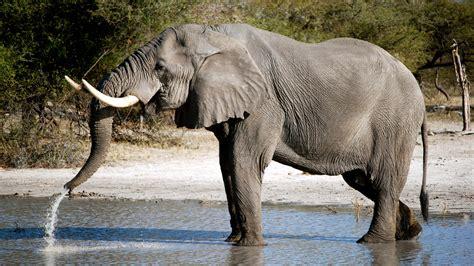 Elefante africano   Kenya Vacanze