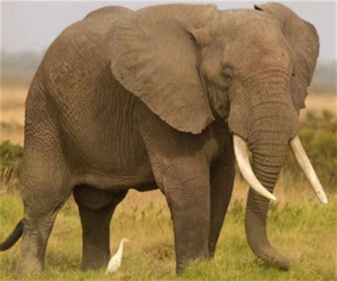 Elefante africano – Mille Animali