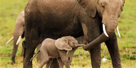 Elefante: Espécies e Características do Mamífero | Animais ...