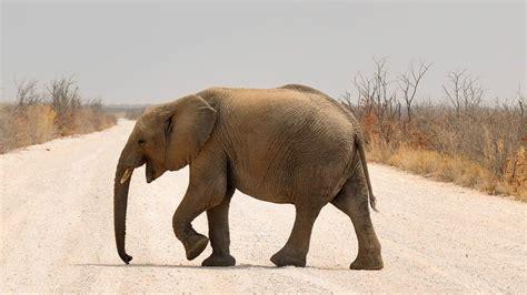 Elefante: il meraviglioso mammifero che rischia l estinzione
