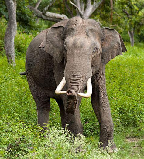 Elefante indiano | Saúde Animal