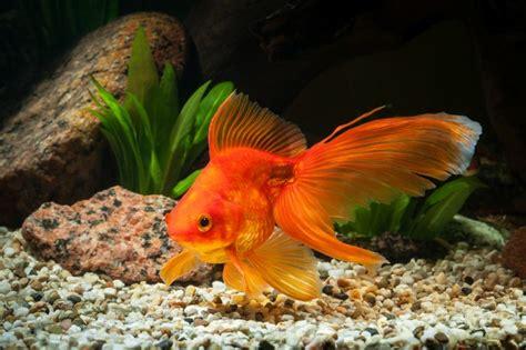 Elegir peces para un acuario de agua fría - Blog Verdecora