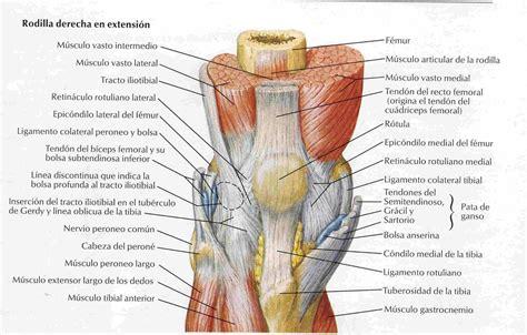Elementos de Anatomía y Fisiología Humana: Rodilla
