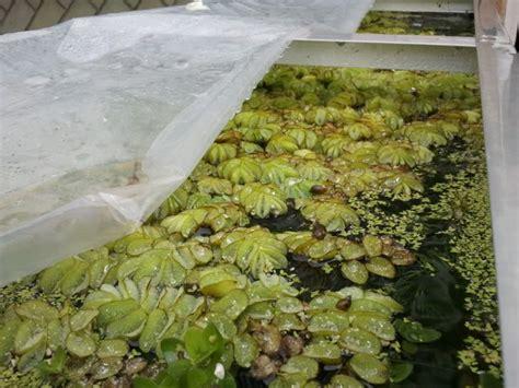ElEstanque.com   Ver Tema   Plantas flotantes en invierno