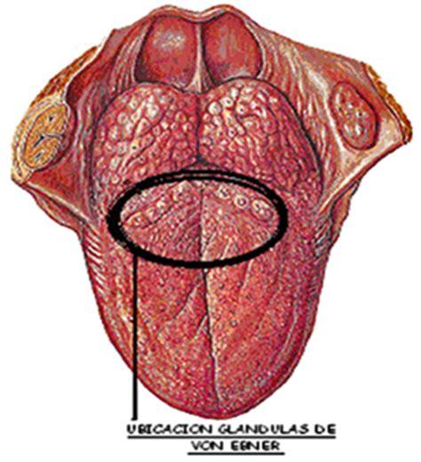 Embriología Buco Dental.: Glándulas Salivales   Tipos
