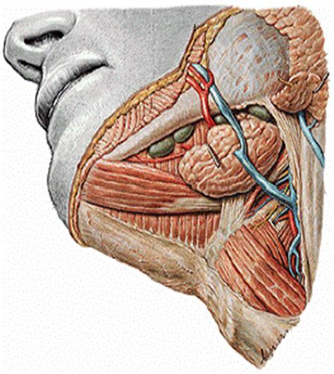 Embriologia Bucodental: La saliva y G.S.