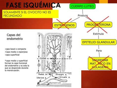 Embriologia fases del ciclo menstrual