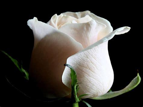 En el día de Santa María esta rosa es para ti | Sada Digital