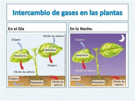 En las plantas, el intercambio gaseoso se realiza ...