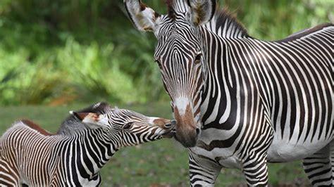 Endangered baby zebra makes debut at Zoo Miami - CBS News