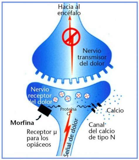Endorfina: Mecanismos de acción de los péptidos opióides
